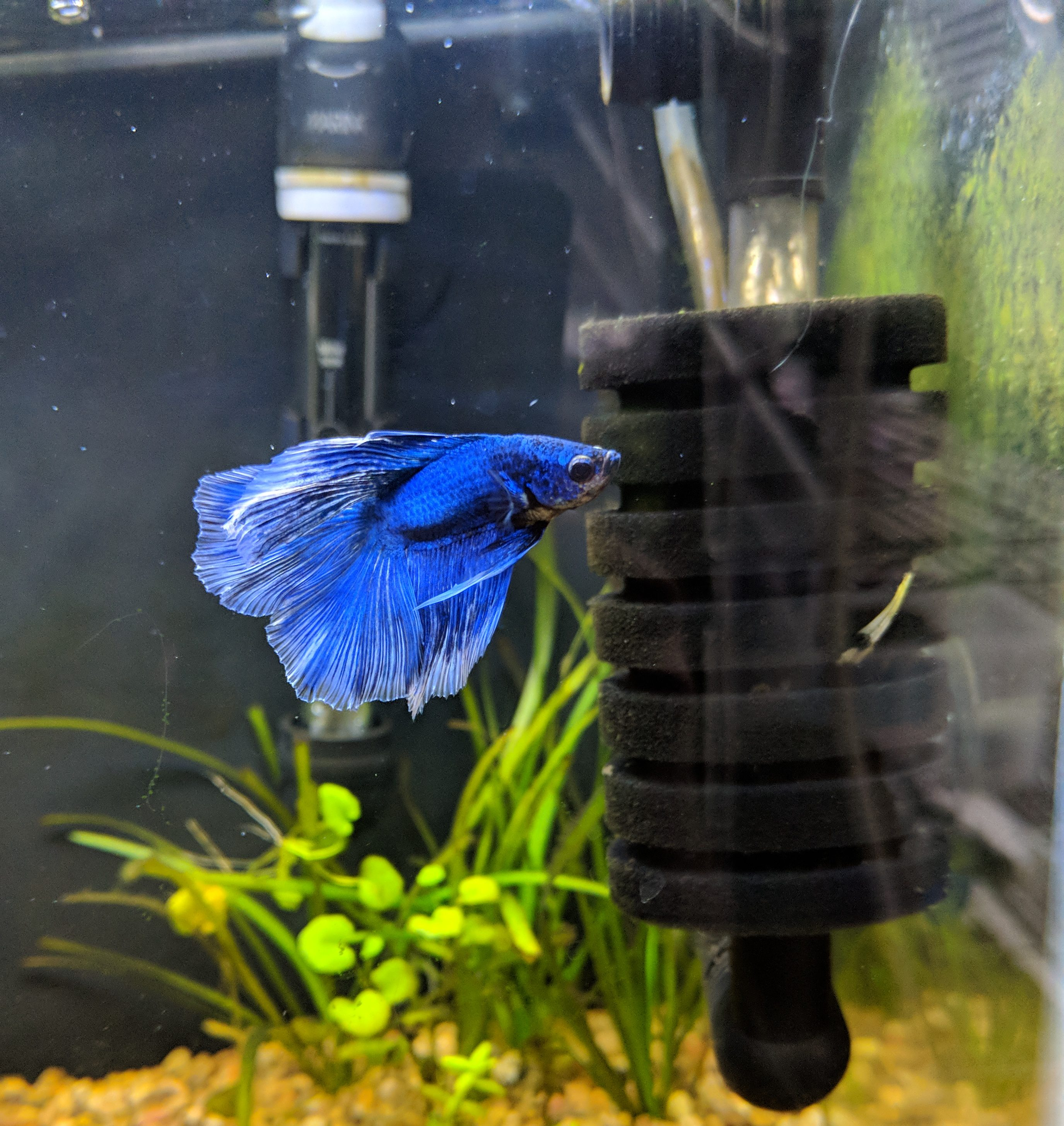 Betta posing with a heater and a sponge filter