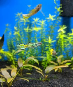 Yellow Tiger Endlers under Marineland LED