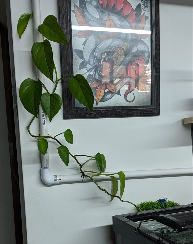 Pothos Growing up PVC