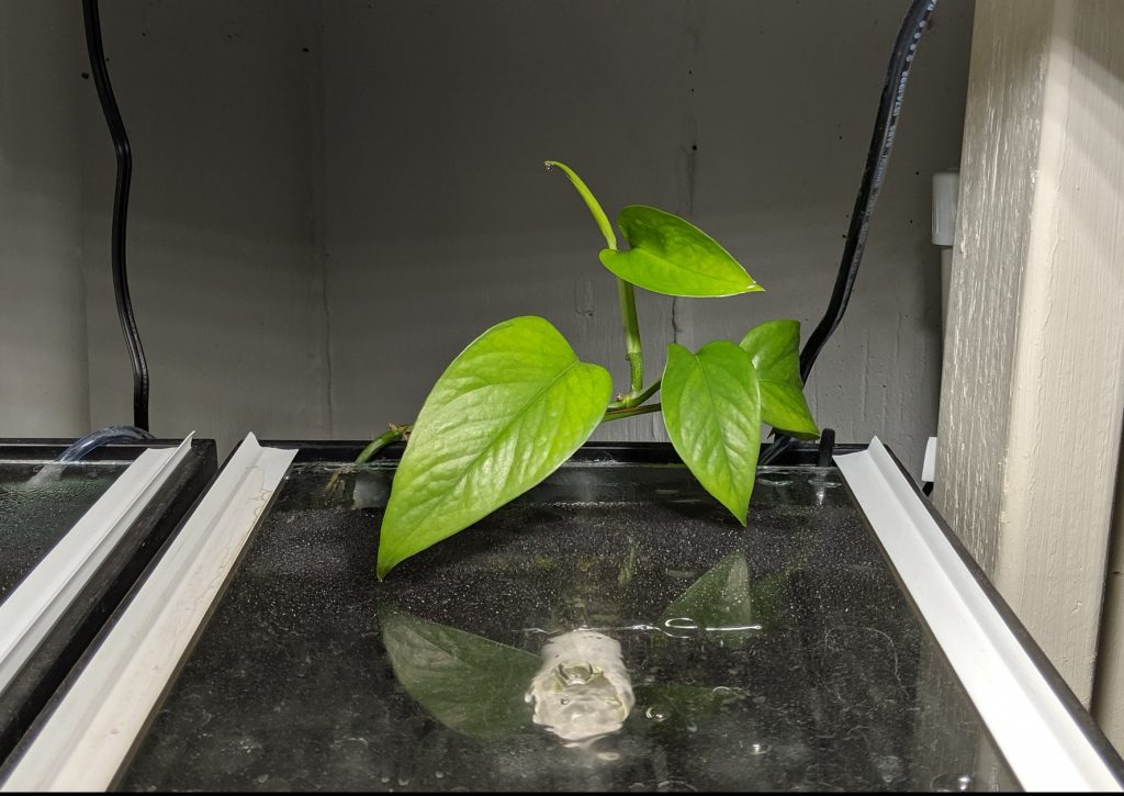 Pothos growing behind matten filter