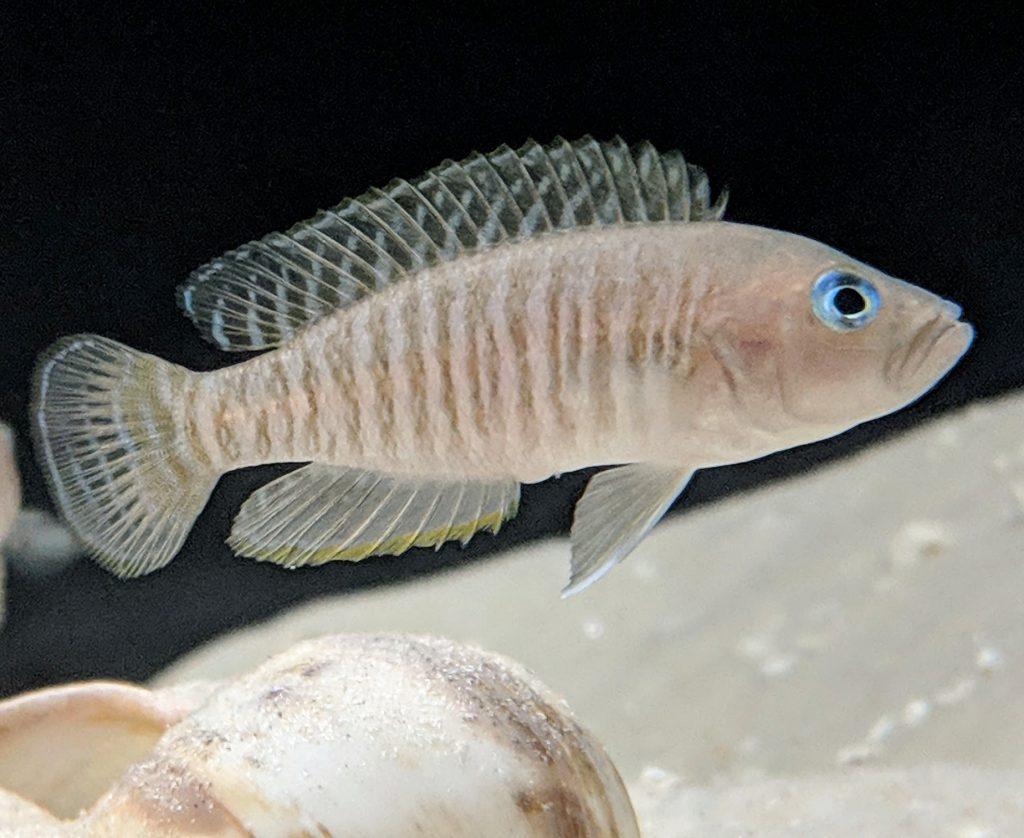 N. multifasciatus male