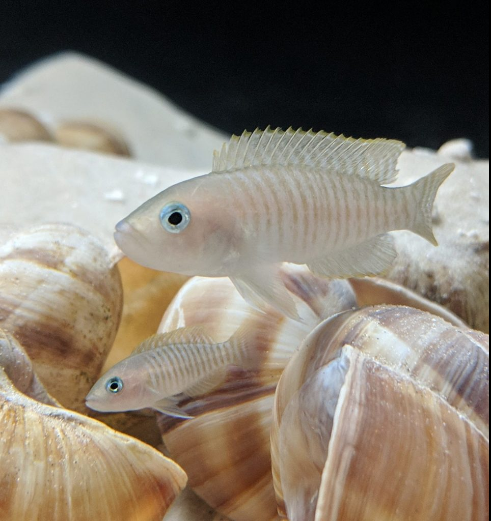 N. multis over shell bed