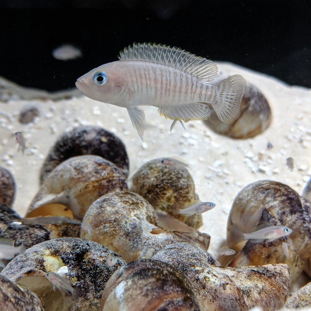 N. multifasciatus over shell bed