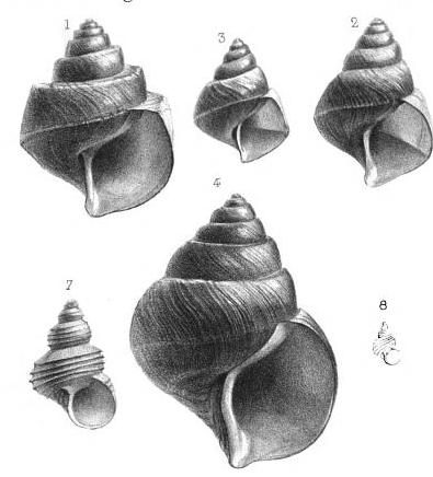 Neothauma Mollusks