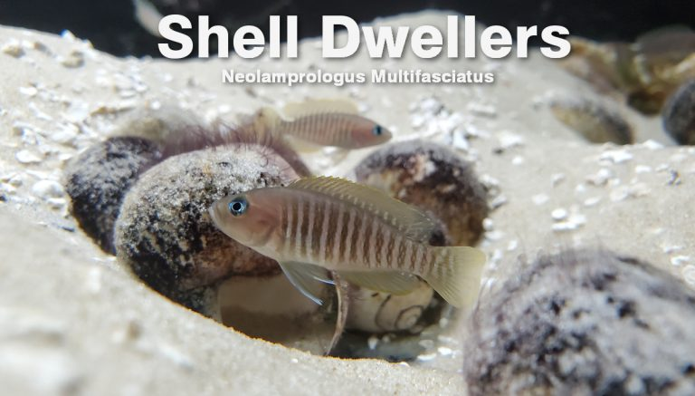 How to Setup an Aquarium for Neolamprologus Multifasciatus Shell Dwellers